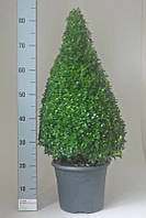 Самшит вечнозеленый -- Buxus sempervirens  P27/H60