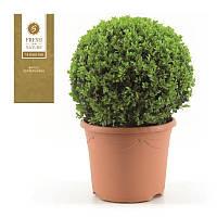Самшит вечнозеленый -- Buxus sempervirens  P29/H60