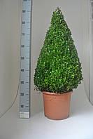 Самшит вечнозеленый -- Buxus sempervirens  P29/H70