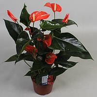Антуриум андре Матиз -- Anthurium andreanum Matiz  P17/H60