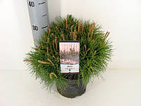 Сосна горная -- Pinus mugo  P19/H40