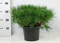 Сосна горная Пумилио -- Pinus mugo Pumilio  P23/H35