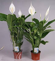 Спатифиллум Свит Сильвио -- Spathiphyllum Sweet Silvio  P17/H75