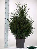 Тис ягодный -- Taxus baccata  P21/H100
