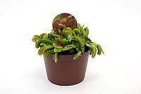 Венерина мухоловка -- Dionaea muscipula  P512/H999