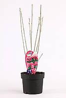 Гибискус сирийский -- Hibiscus syriacus  P19/H40