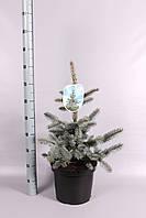 Ель голубая (колючая) Хупси -- Picea pungens Hoopsii  P28/H60