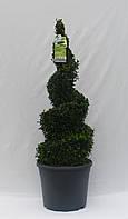 Самшит вечнозеленый -- Buxus sempervirens  P31/H80