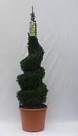 Самшит вечнозеленый -- Buxus sempervirens  P31/H100