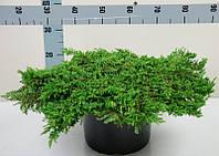 Можжевельник обыкновенный Репанда -- Juniperus communis Repanda  P31/H35