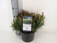 Сосна горная -- Pinus mugo  P23/H40
