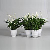 Спатифиллум Беллини -- Spathiphyllum Bellini  P13/H45