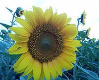 Семена подсолнечника под гранстар СУМО 556, Урожайный подсолнечник под гербицид Экспресс СУМО.