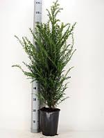 Тис ягодный -- Taxus baccata  P21/H110