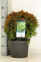Туя западная Даника -- Thuja occidentalis Danica  P23/H50
