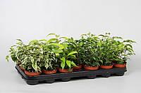 Фикус Бенджамина микс -- Ficus benjamina mixed  P508/H20