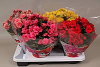 Бегония этатиор двойной микс -- Begonia elat. double mixed  P17/H35