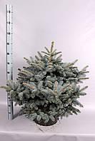 Ель голубая (колючая) Глаука Глобоза -- Picea pungens Glauca Globosa  P34/H60