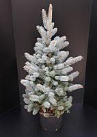 Ель голубая (колючая) Хупси -- Picea pungens Hoopsii  P35/H125