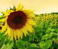 Купить семена подсолнечника под Экспресс СУМО 2017, Подсолнечник Сумо под Гранстар. Гибрид урожайный. Экстра