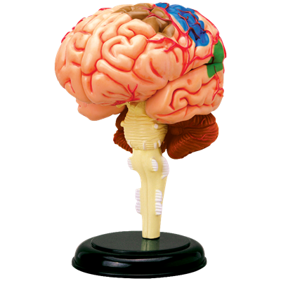 Объемная анатомическая модель Мозг человека 4D Master (26056)