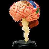 Объемная анатомическая модель Мозг человека 4D Master (26056), фото 1