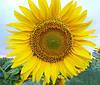 Семена подсолнечника КОСОВО, Высокоурожайный, 103 -107 дней. Оригинатор: Нови Сад / Сербия