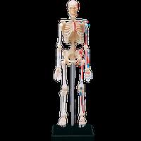 Объемная анатомическая модель Скелет человека 4D Master (26059)