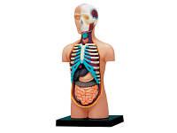 Объемная анатомическая модель Торс человека 4D Master (26051)