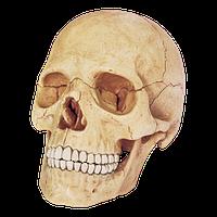 Объемная анатомическая модель Череп человека 4D Master (26086)