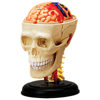 Объемная анатомическая модель Черепно-мозговая коробка человека 4D Master (26053)