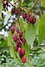 Семена актинидии красный Киви
