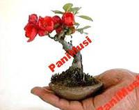 Бонсай Цветочный 3шт. семян + в подарок инструкция