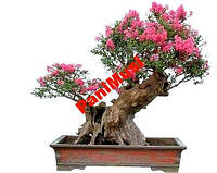 Цветет 200 дней LAGERSTROEMIA 5шт. семян + подарок