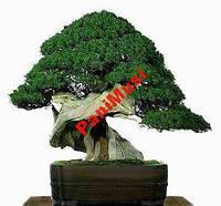 Бонсай Ольха Японская семена + подарок инструкция