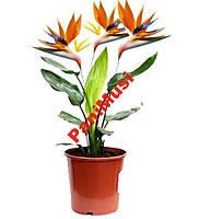 Райский Цветок семена + инструкция по высеву