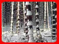 Бамбук морозостойкий инструкция + в подарок семена