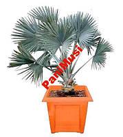 Серебряная Пальма семена + в подарок гидрогель