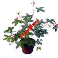 Мимоза Стыдливая 5шт. семян + в подарок инструкция