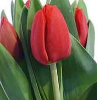 Тюльпан красный АКЦИЯ