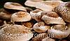 Шиитаке мицелий / міцелій шиітаке