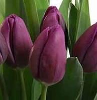 Тюльпан фиолетовый АКЦИЯ