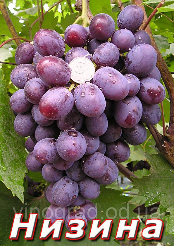 Саджанці винограду, середнього терміну дозрівання сорти Низина