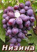 Саженцы винограда среднего срока созревания сорта Низина