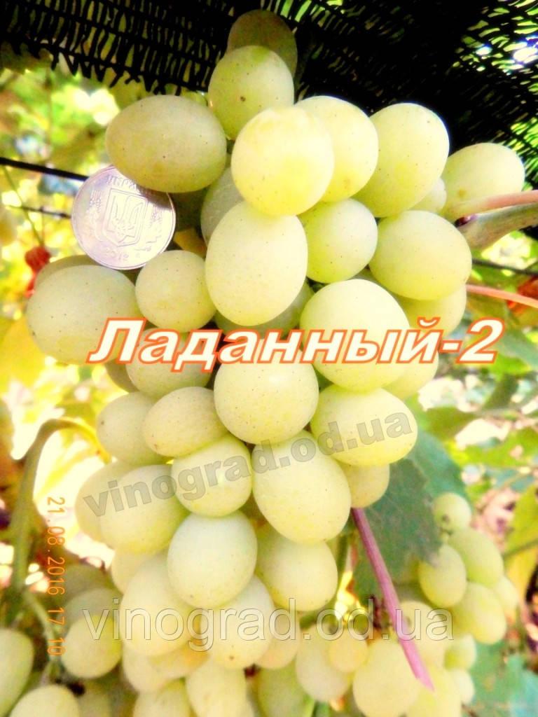 Саджанці винограду раннього терміну дозрівання сорти Ладанный-2