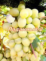 Саженцы винограда раннего срока созревания сорта Ладанный-2