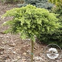 Можжевельник прибрежный - Juniperus conferta Schlager Pa (Pa 120см, горшок 4л)