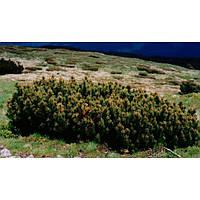 Сосна горная - Pinus mugo Almhutte (диаметр 25-30 см, горшок 5л)