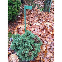 Ель колючая - Picea pungens Szpacek (Pa 100см, горшок 10л)