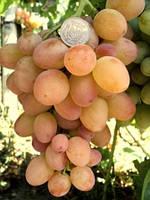 Саженцы винограда раннего срока созревания.